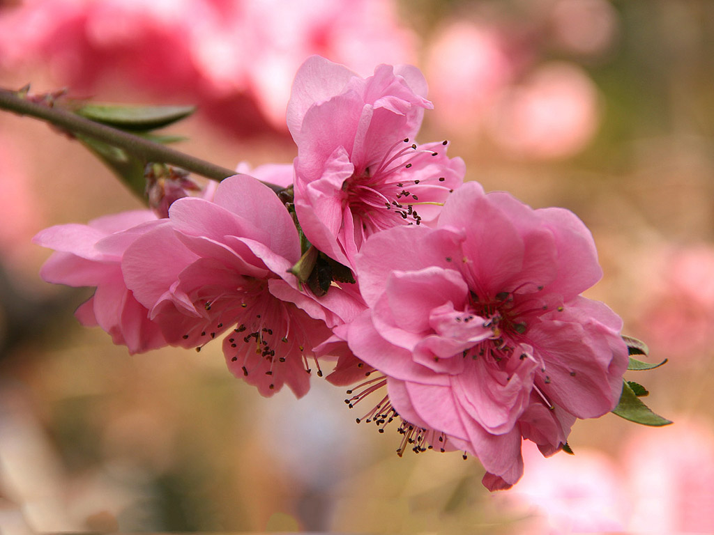 Sakura - japán cseresznye
